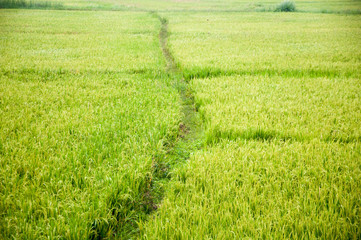Rice Field. The rice paddy fields.