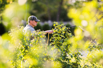 Gardener applying an insecticide fertilizer to his fruit shrubs