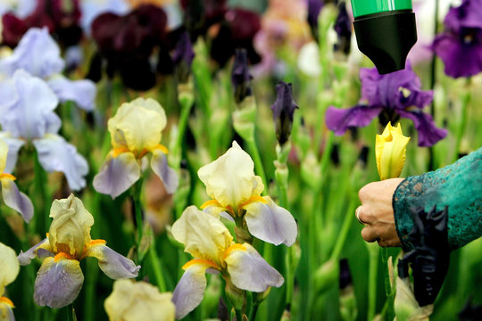 Britains Butt uses hairdryer to help her irises bloom at annual Chelsea Flower Show in London