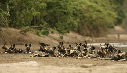 A critically endangered pack of African wild dogs (Lycaon pictus) lies on a riverbed after killing and eating a Bush buck in the Mana Pools National Park, a World Heritage Site, in northern Zimbabwe