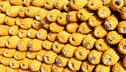 Many mature corn