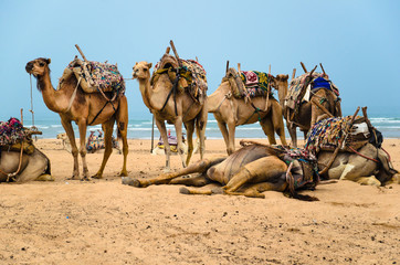Camels resting on the beach of Essaouira, Morocco