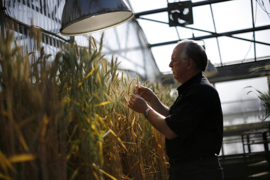 Professor Stephen Baenziger holds stalk of wheat at greenhouse of wheat breeding program at Nebraska university in Lincoln
