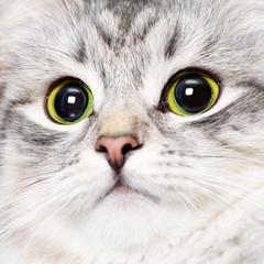 Female lynx point Siberian colorpoint kitten closeup