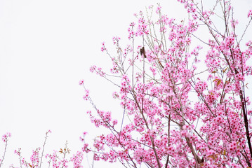 cherry pink blossom isolated