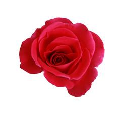 Keuken foto achterwand Roses red flower blooming isolated