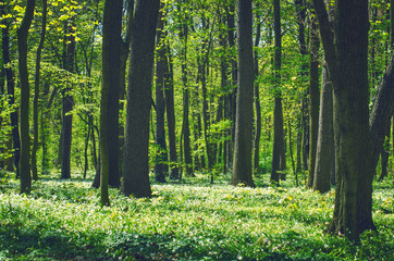 Papiers peints Forets Decidious forest. Nature in spring time