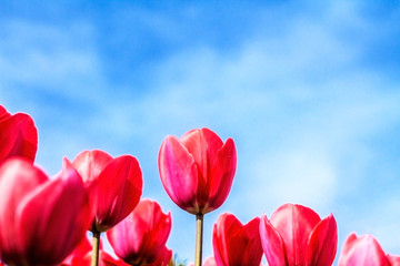 Tulips against the blue sky