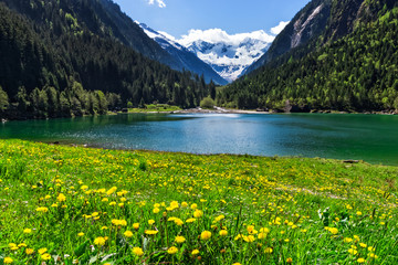 Wall Mural - Mountain lake with bright yellow flowers in foreground. Stillup lake, Austria, Tirol