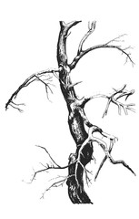 Hand Drawn Vector a fragment of a bare tree. Graphic sketch