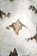 Wall Mural - birch bark
