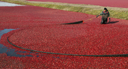 A worker harvests organic cranberries at Canneberges Quebec farm in St-Louis-de-Blandford