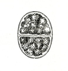 Lifecycle of gregarine - hundreds of oocysts accumulate within each gametocyst and fills with sporozoites (from Meyers Lexikon, 1895, 7/902)