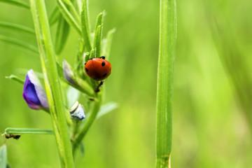 Red ladybug on green grass