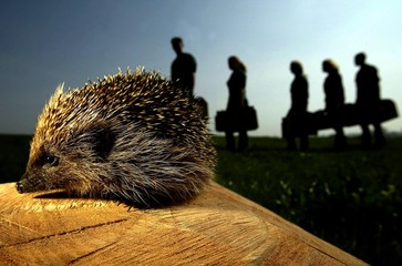 A hedgehog saved from being culled by Hessilhead Wildlife Rescue Centre is seen in full health in Be..