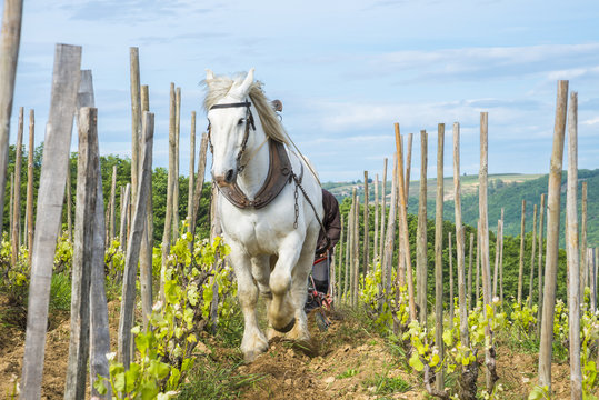Viticulteur labourant avec cheval