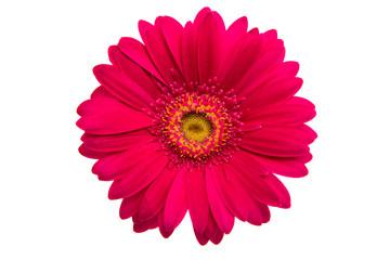Beautiful gerbera flower
