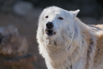 Tundra white polar wolf close up. Latin name - Canis lupus arctos