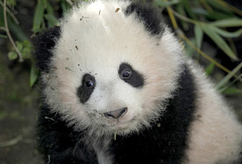 BABY GIANT PANDA MEI SHENG.