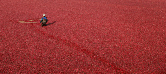 A worker harvests cranberries at the Atoka farm in Manseau
