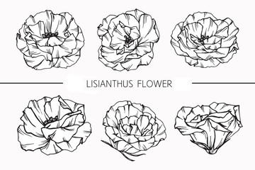 Lisianthus flowers drawing and sketch with line-art on white backgrounds.