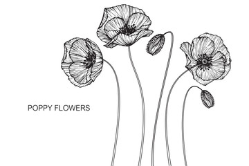 Poppy flowers drawing and sketch with line-art on white backgrounds.