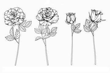 Rose flowers drawing and sketch with line-art on white backgrounds.