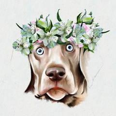 Portrait of the dog breed Weimaraner with a wreath of pink roses on her head. Closeup on white background