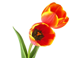 Two beautiful tulips on a white background