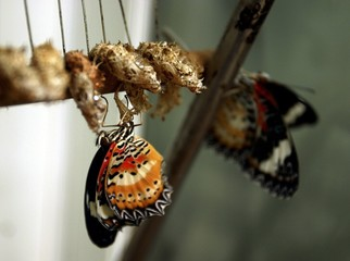 A BUTTERFLY 'CETHOSIA BIBLIS' DRIES ITS WINGS AFTER EMERGING FROM ITS CHRYSALIS IN THE GRANADA ...