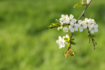 early flowering cherry tree/ white flowers in spring time on a green background
