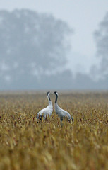 Two cranes rest in the fields of a natural resort near Berlin