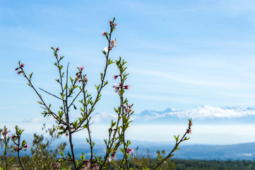 Blooming almonds in front of Sierra Nevada during springtime, Andalusia, Spain