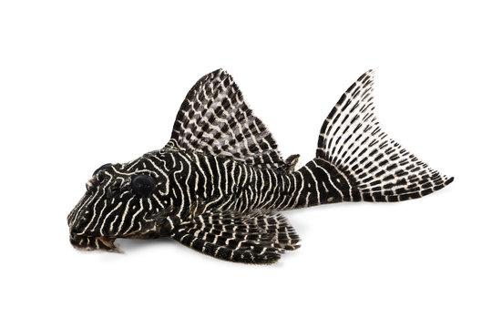 Pleco Catfish L-260 Queen Arabesque Hypostomus sp Plecostomus aquarium fish