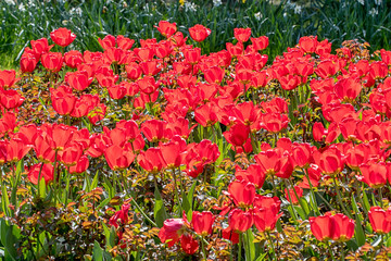 springtime with tulips in sunshine