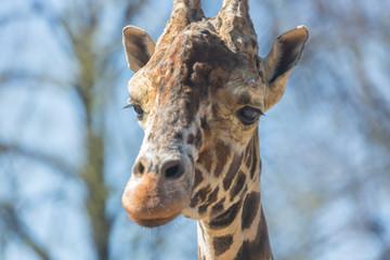 Close-up portrait of a giraffe head Giraffa Camelopardalis