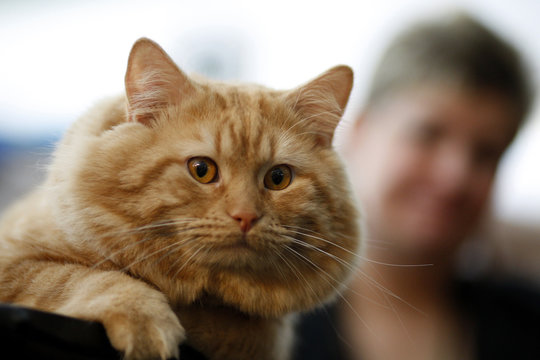 Aslin, a Longhaired Manx, sits next to her trainer during the preview for the CFA-Iams Cat Championship in New York