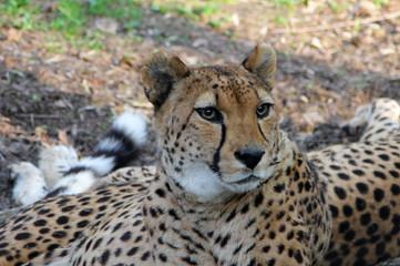 Asiatic Cheetah (Acinonyx jubatus venaticus) resting on the ground