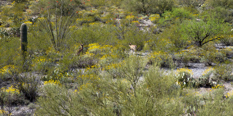 Saguaro National Park: two mule deer wander in the Sonoran Desert in spring