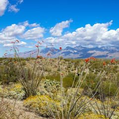 Saguaro National Park in full spring bloom: flowering Ocotillo and Brittlebush with Prickly Pear cacti, young Giant Saguaros, and Santa Catalina Mountains