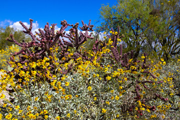 Saguaro National Park in full spring bloom: flowering Bristlebush and red Cholla with fruit in Arizona's Sonoran Desert