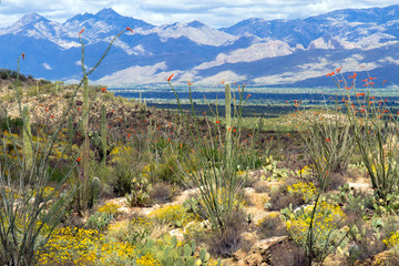 Saguaro National Park in full spring bloom: flowering Ocotillo, Giant Saguaros, and flowering Brittlebrush in a fine desert landscape