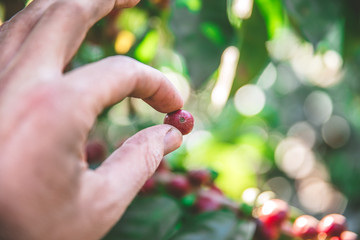 Coffee beans on tree - picking with hands and a basket the coffee beans in the harvest time