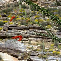 Flowering Ocotillo and Giant Saguaro cacti, plus yellow Brittlebrush, in Sabino Canyon near Tucson, Arizona
