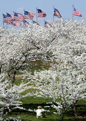American flags fly at the Washington Monument as a man photographs cherry trees in full bloom, April..