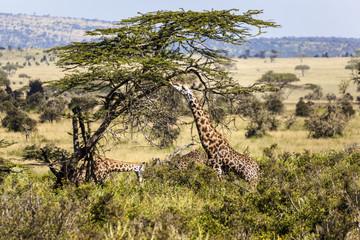 Giraffes in the Wild giraffes wildlife animals together affections in their grassland habit wilderness reserve terrain.