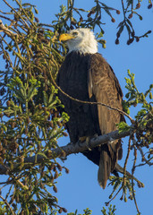 Bald eagle standing close to the nest , seen in the wild in  North California