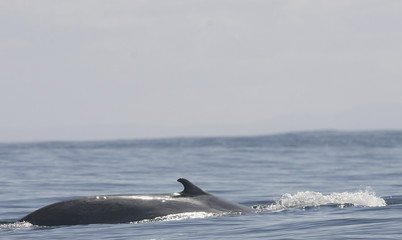 A blue whale surfaces in the El Corcovado gulf