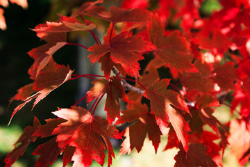 Brilliant red maple leaves in fall