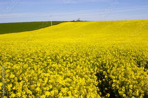 A field of rapeseed oi an irish farm with its bright yellow flower a field of rapeseed oi an irish farm with its bright yellow flower heads contrasted mightylinksfo